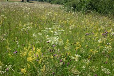 Dry meadow, na obrobju Ljubljane, travniške rastline