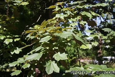 Acer pseudoplatanus 'Atropurpureum'