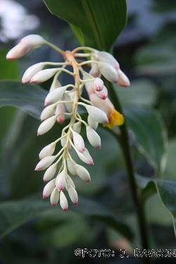 Alpinia speciosa