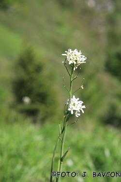 Arabis pauciflora