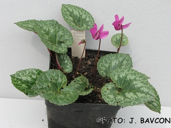Cyclamen purpurascens 'Šmarna Gora'