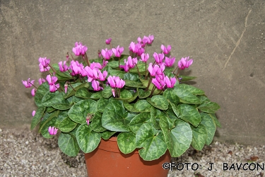 Cyclamen purpurascens 'Bela Krajina'