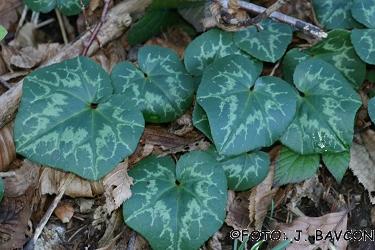 Cyclamen purpurascens 'Bršljanovolistni'