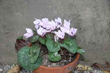 Cyclamen purpurascens 'Eva'