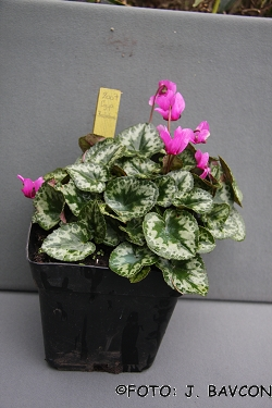 Cyclamen purpurascens 'Kolpa'
