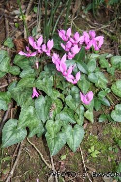 Cyclamen purpurascens 'Kopjasti'