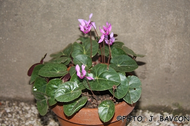 Cyclamen purpurascens 'Kozjansko'