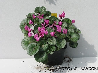 Cyclamen purpurascens 'Krog'