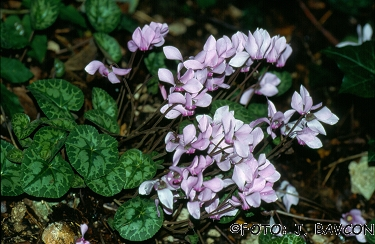 Cyclamen purpurascens 'Lila'