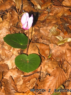 Cyclamen purpurascens 'Otlica'