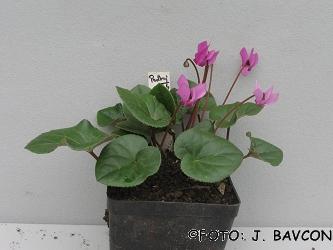 Cyclamen purpurascens 'Podkraj'