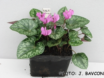 Cyclamen purpurascens 'Radlje'