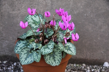 Cyclamen purpurascens 'Sara'