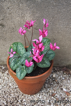 Cyclamen purpurascens 'Soča'
