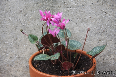 Cyclamen purpurascens 'Sv. Gora'