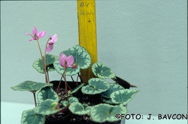 Cyclamen purpurascens 'Vipava'