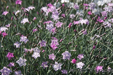 Dianthus fragrans