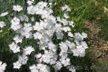 Dianthus pubescens