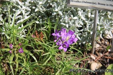 Edraianthus dalmaticus