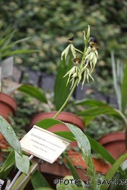 Epidendrum cochleatum