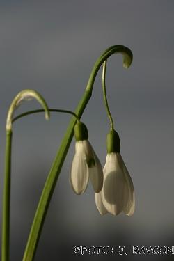 Galanthus nivalis 'Col'