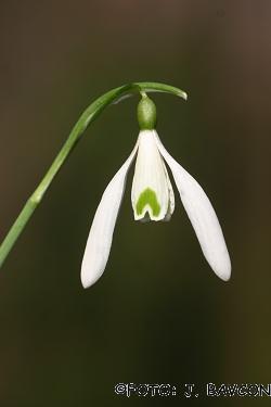 Galanthus nivalis 'Duet'