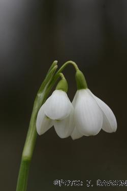 Galanthus nivalis 'Dvocvetna Krinolinca'