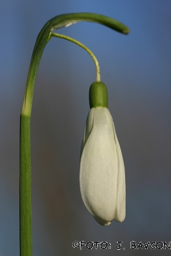 Galanthus nivalis 'Giant'