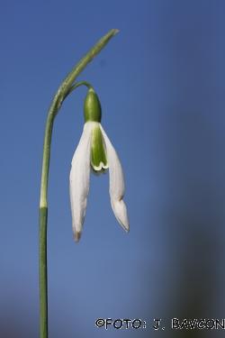 Galanthus nivalis 'Koper - Capodistria'
