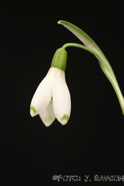 Galanthus nivalis 'Lea'