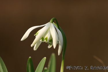 Galanthus nivalis 'Pajek'