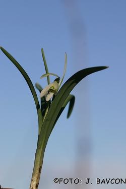 Galanthus nivalis 'Petlistni'