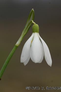 Galanthus nivalis 'Quintet'