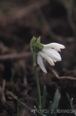Galanthus nivalis 'Siamski Trojčki'