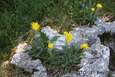 Hieracium lanatum