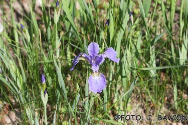 Iris sibirica 'My love'