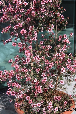 Leptospermum scoparium 'Pink Queen'