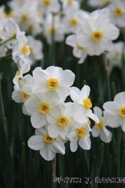 Narcissus tazetta subsp. tazetta