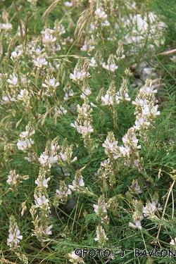 Onobrychis alba