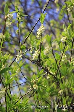 Osmaronia cerasiformis