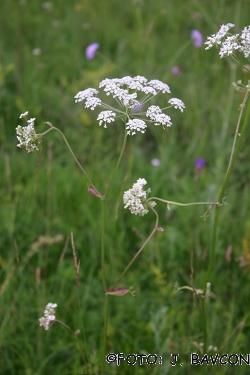 Peucedanum oreoselinum