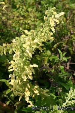 Salvia glutinosa