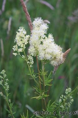 Thalictrum lucidum