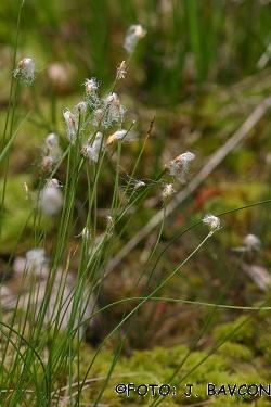 Trichophorum alpinum