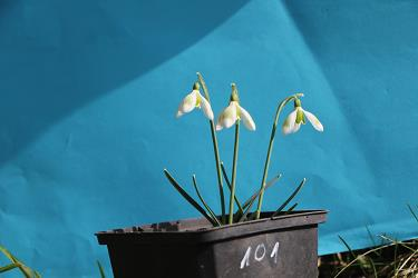 Galanthus nivalis forms sale 2021