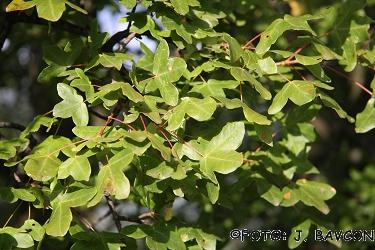 Acer monspessulanum