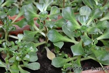 Aeonium canariense
