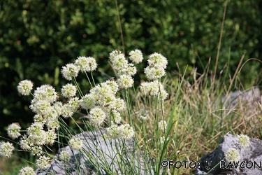 Allium ericetorum