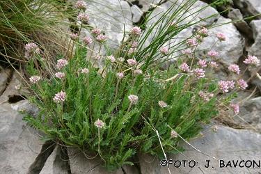 Anthyllis jacquinii