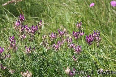 Astragalus carniolicus